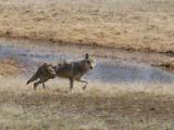 Wolf 260