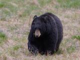 Bear 350