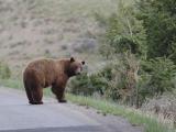 Bear 370
