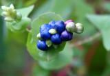 Mystery Berry - crop