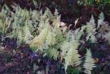 Trailside Ferns