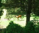 Deer Under Mulberry Tree