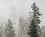 The Fog is in the Fir Trees 2009