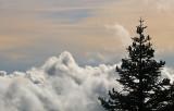 Fir Above the Fog