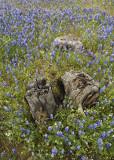 Stanislaus Lupine Meadow