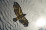 Eagle under an old  mackerel sky
