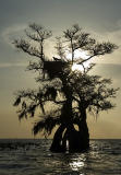 Osprey in cypress nest silhouette - Lake Istokpoga