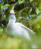 Cattle Egret Staredown - Medard Park