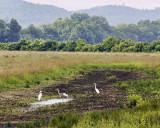 white-blue heron.jpg