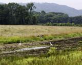 white-blue heron 3.jpg