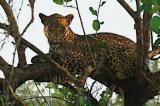 arno leopard.jpg