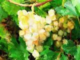 grape rain.jpg