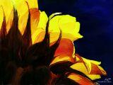 sunflower 12x9