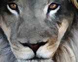 lion 8x10 08.jpg
