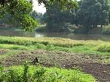 Juba Island fields