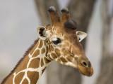 reticulated giraffe  netgiraffe  Giraffa camelopardalis reticulata