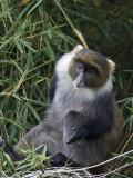 Syke's monkey  witkeelmeerkat  Cercopithecus mitis albogularis