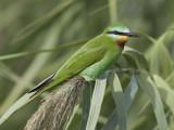 blue-cheeked bee-eater  groene bijeneter  Merops persicus