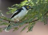 white-crested helmet-shrike  helmklauwier  Prionops plumatus