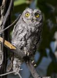 african scops-owl  afrikaanse dwergooruil  Otus senegalensis