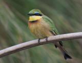 little bee-eater  dwergbijeneter  Merops pusillus