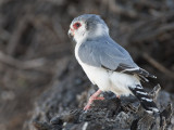 pygmy falcon  dwergvalk  Polihierax semitorquatus
