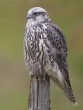 gyr falcon (juv.)  giervalk  Falco rusticolus