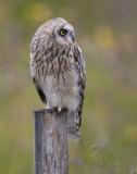 short-eared owl  velduil  Asio flammeus