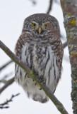 pygmy owl  dwerguil  Glaucidum passerinum