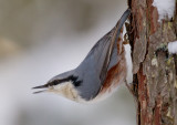 eurasina nuthatch  boomklever (NL) spettmeis (NO)  Sitta europaea