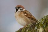 eurasian tree sparrow  ringmus (NL) pilfink (NO)  Passer montanus