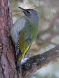 grey-faced woodpecker (m.)  grijskopspecht (NL) gråspett (NO)  Picus canus