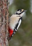 great spotted woodpecker  grote bonte specht (NL) flaggspett (NO)  Dendrocopos major