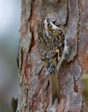 eurasian tree-creeper  taigaboomkruiper (NL) trekryper (NO)  Certhia familiaris