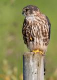 merlin  smelleken  Falco columbarius