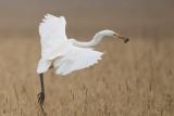 great white heron  grote zilverreiger   Egretta alba