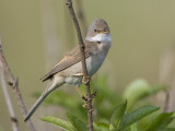 whitethroat  grasmus  Sylvia communis