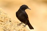 Tristram's Starling (Onychognathus tristamii)
