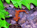 Red Eft, appalachian trail
