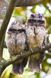 Tawny frogmouth with young