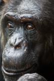 Chimpanzee close