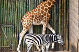 Giraffe and zebra patterns