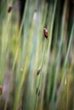 Reeds in Botanic Gardens