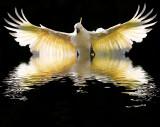 Sulphur crested cockatoo in flight rising