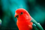 Male king parrot  on verandah