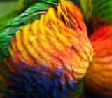 Close up of rainbow lorikeet feathers