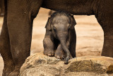 Baby Asian or Asiatic elephant