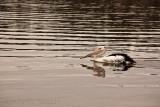 Australian white pelican at Narrabeen