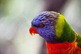Close up of rainbow lorikeet