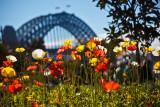 Poppies and Sydney Harbour Bridge